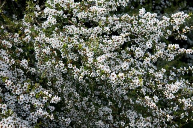 Bloesem van Leptospermum Scoparium
